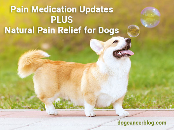 Pain medication updates and natural pain relief for dogs. Small dog walking outside.