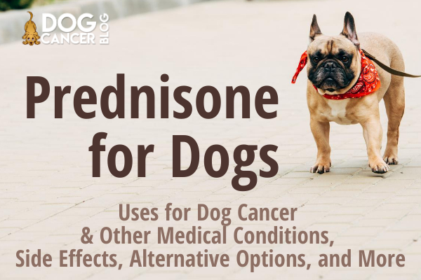 A picture of a dog, with the words Prednisone for Dogs